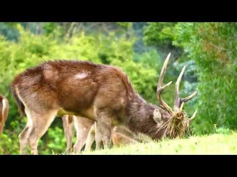 Hunting Rusa Deer - Phlegming Stag Up Close