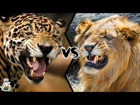 JAGUAR VS LION - Who will win this battle?