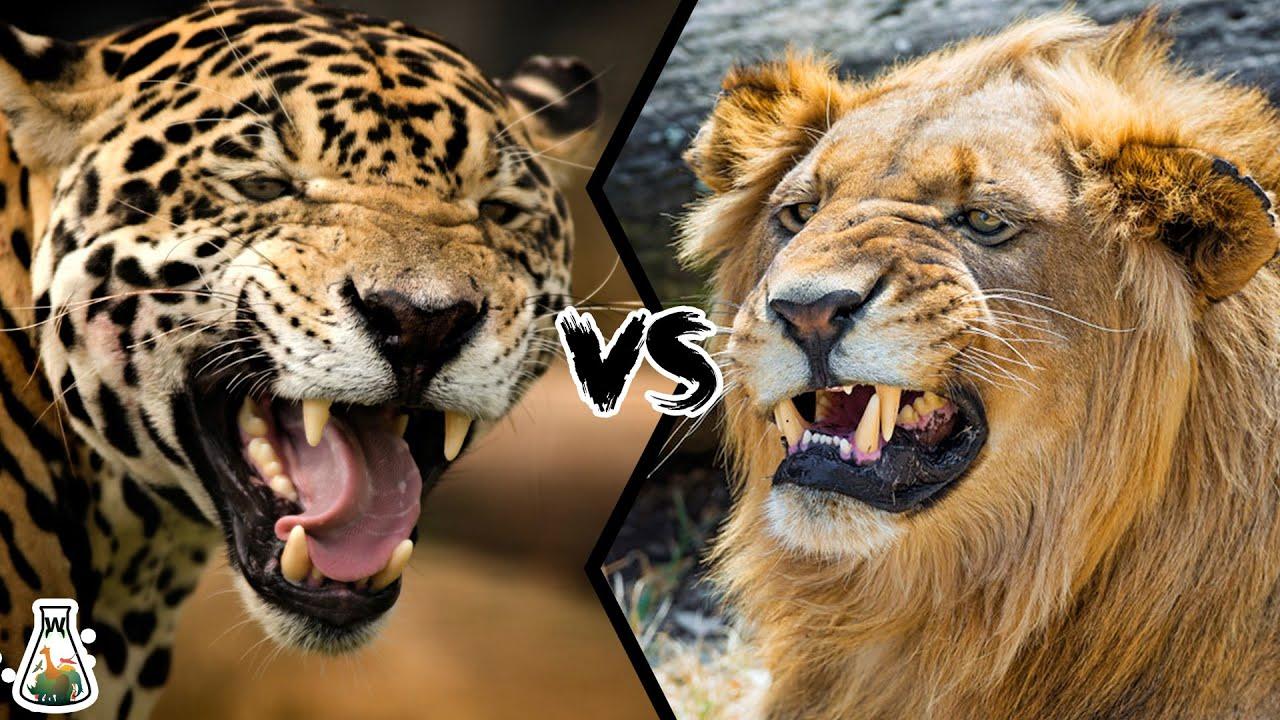 Download JAGUAR VS LION - Who will win this battle?