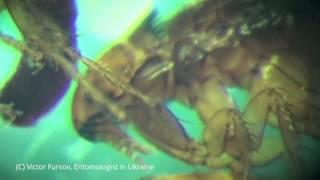 Блоха Под Микроскопом: Кошачья Блоха Ctenocephalides felis