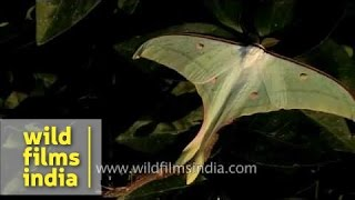 Indian Moon Moth or Indian Luna Moth