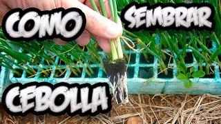 Como Sembrar Cebolla || Cultivo Organico || La Huertina De Toni