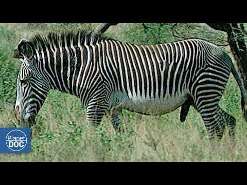 Zebras and Giraffes. Samburu National Reserve