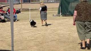 Akc Sheltie Shetland Sheepdog Showing At Mid Arizona Kennel Club In Tempe