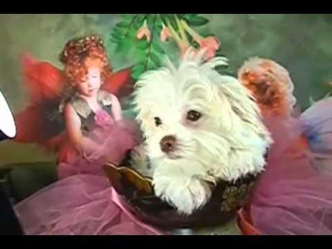 Blondie is a Beautiful Bolonka Puppy