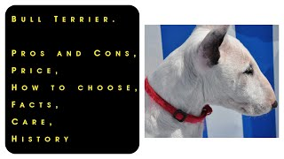 Bull Terrier. Pros and Cons, Price, How to choose, Facts, Care, History