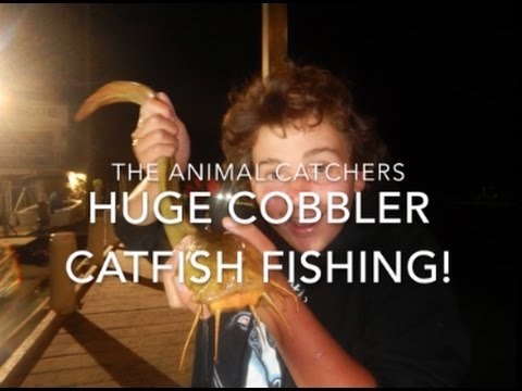 HUGE Cobbler Catfish Fishing! | TAC