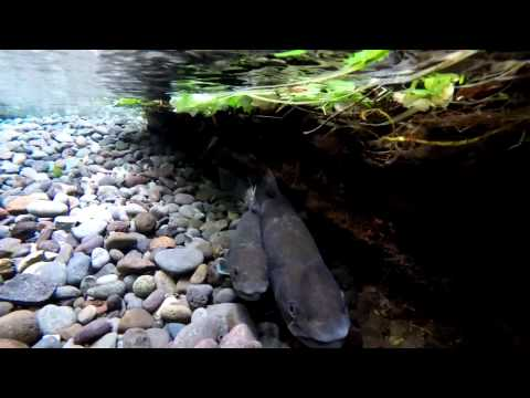 Upper Middle Fork Willamette River Bull Trout