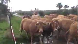 séjour de travail de bétail à cheval dans l'Allier
