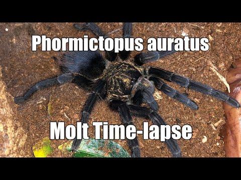 Phormictopus Auratus Female Tarantula Molt Time-lapse