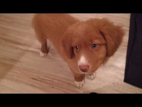 Nova Scotia Duck Tolling Retriever - 8 weeks old with Kong