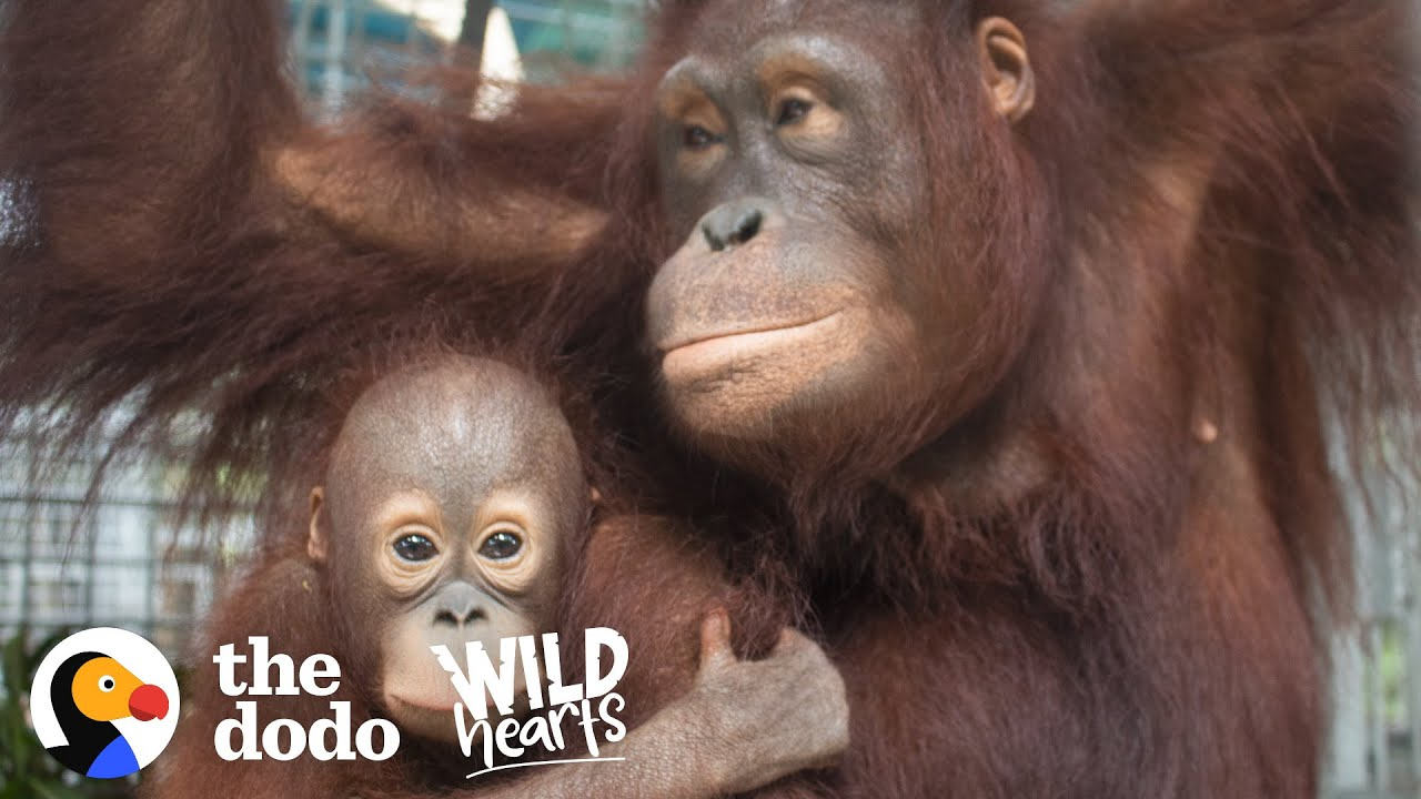 This Rescued Orangutan Adopted Her Very Own Baby | The Dodo Wild Hearts
