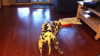 Dalmatian Vs Cheetos Bag.mov