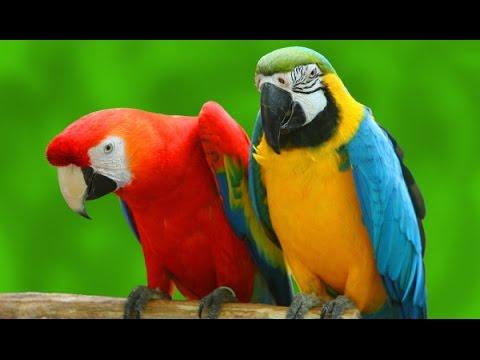jeg er en papegøje fra amerika akkorder