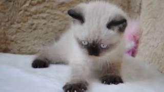 Британский котенок окраса сил поинт питомник British House