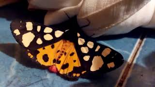 Большая бабочка на полу. крупная бабочка