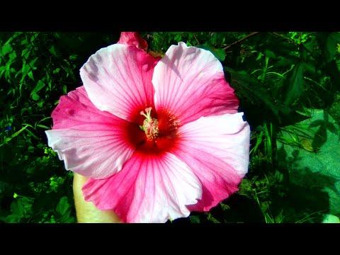 Гибискус травянистый до цветения, особенности выращивания.