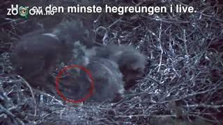 Baby heron EATEN by its brothers