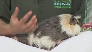 How To Breed Guinea Pigs