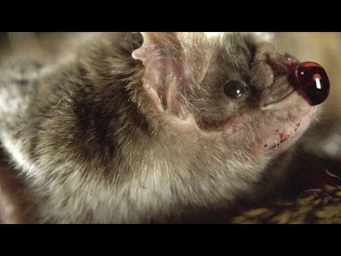 How Vampire Bats Suck Blood for 30 Minutes Unnoticed