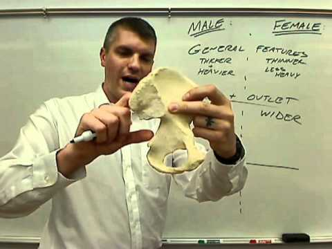 female vs male pelvis.wmv