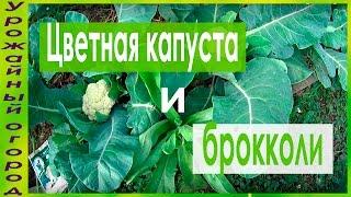 видео Как вырастить цветную капусту в открытом грунте?