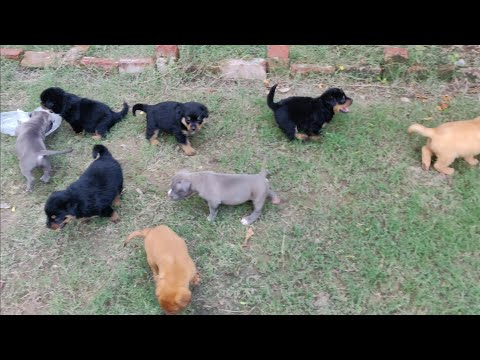 Rottweilers puppy, American Bully Puppy, French Mastiff Puppies, 9896504757 Doggyz World
