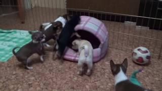 Продаются чистопородные щенки чихуахуа 8(919)726-88-05
