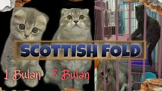 Scottish Fold Cat _ age 1 month to 7 months