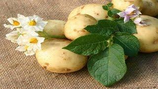 Посадка картофеля ( картошки ) сдвоенными рядами. Приспособление ( инструмент ) сажалка для посадки.(Посадка картофеля ( картошки ) на сдвоенных ( спаренных ) рядках. Приспособление ( инструмент ) для посадки..., 2015-02-11T18:40:01.000Z)