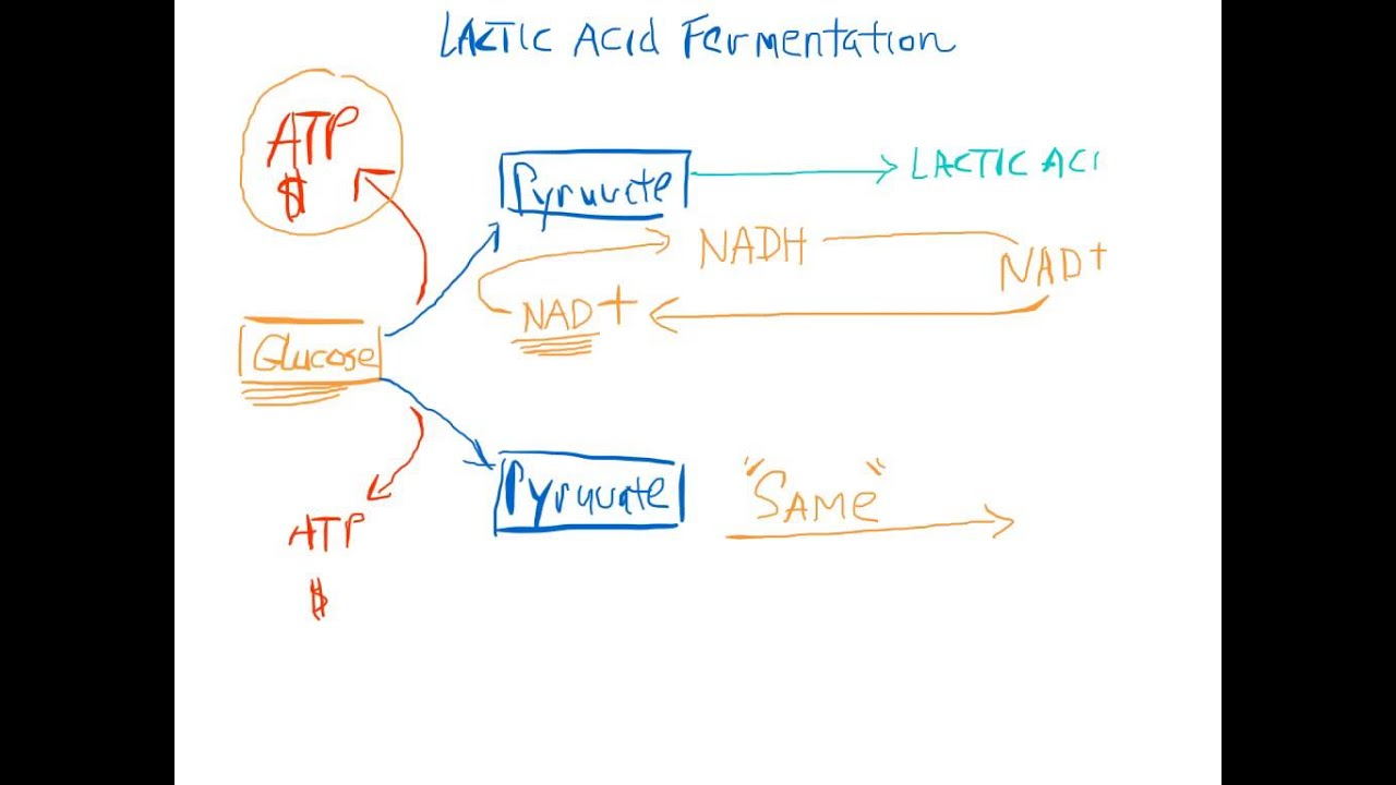 Diagram Of Acid Fermentation Content Resource Wiring Yale Glp060 Lactic 101 Youtube Rh Com Cycle