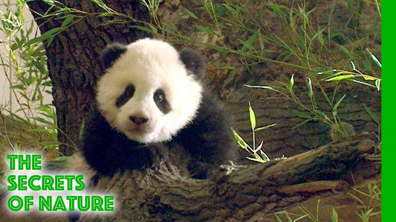 Fu Long - Little Panda Happy Dragon - The Secrets of Nature