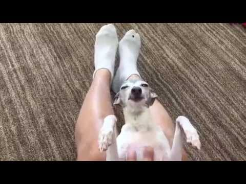 Pampered Pup (Italian Greyhound Pampering)