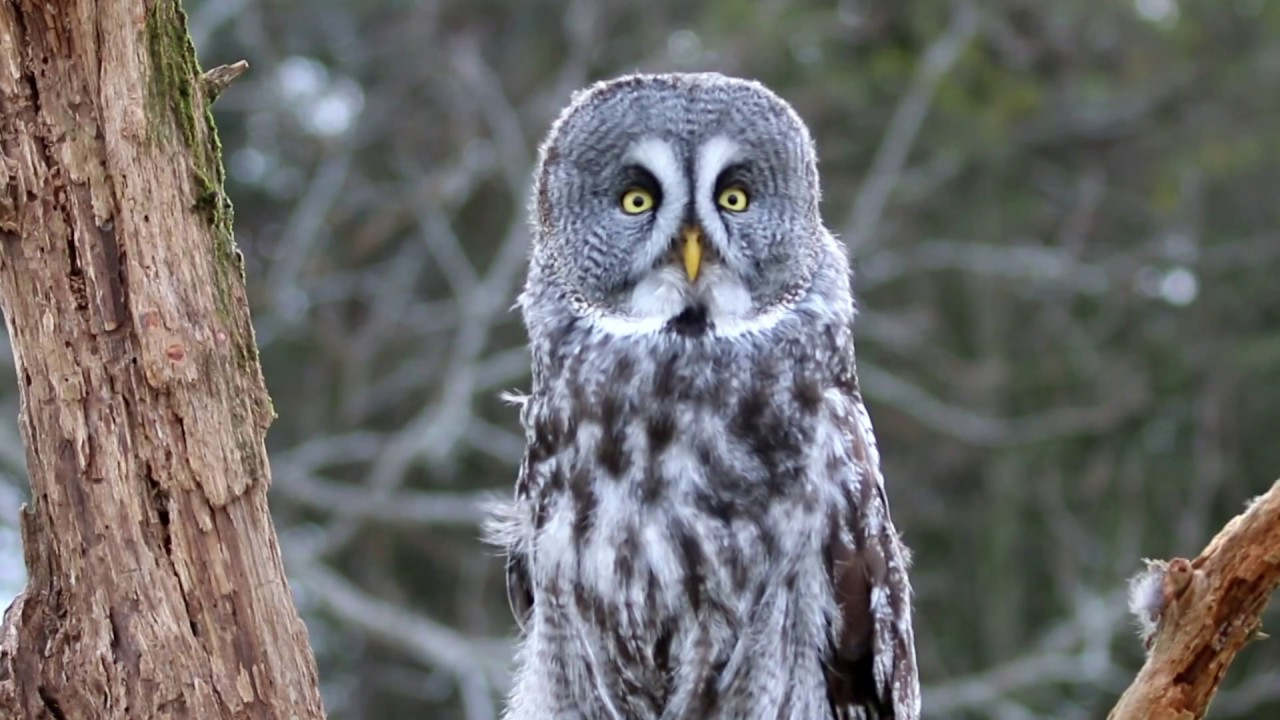 great gray owl facts - 1280×720