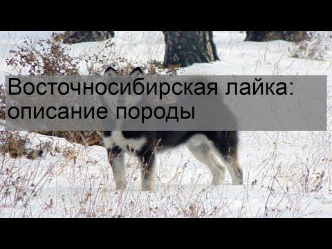 Восточносибирская лайка: описание породы