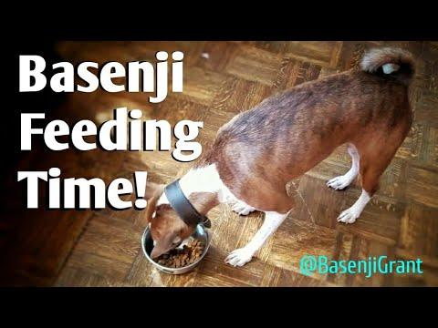Basenji Dog Eating