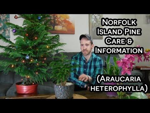 Norfolk Island Pine (Araucaria heterophylla) Care and Information