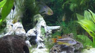 Blue Rams & Apisto Movie 2