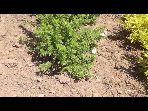 Лапчатка кустарниковая хопслей оранж фото