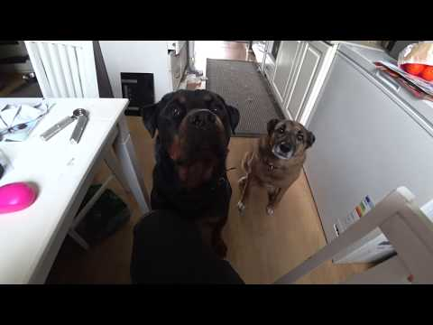 Two dogs sneeze on command 4K