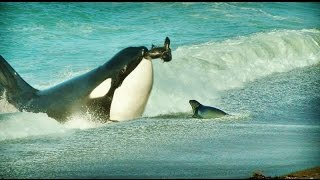 IMÁGENES INÉDITAS!!!. Orcas practicando ataques de costa. Pa…