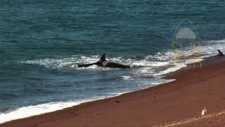 IMÁGENES INÉDITAS!!!. Orcas practicando ataques de costa. Patagonia Argentina. SubSur.