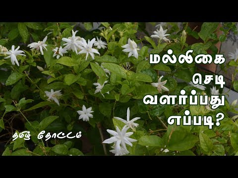 How to Grow Jasmine Plant in Pot in Tamil | How to Grow Jasmine Plant from Cuttings in Tamil