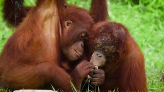 Volunteer with Orangutans in Borneo  |  The Great Projects