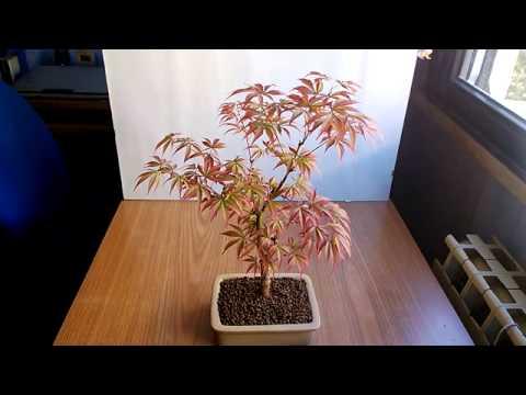 Vivaio Acero Rosso : Composizione con acero rosso di vivai piante masciandaro foto