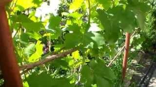 Виноград на арке(Размещение виноградных кустов на арке. Похожее видео http://www.youtube.com/watch?v=fOfS805YsJg Ставьте лайки, дизлайки. Комме..., 2013-06-30T08:21:10.000Z)