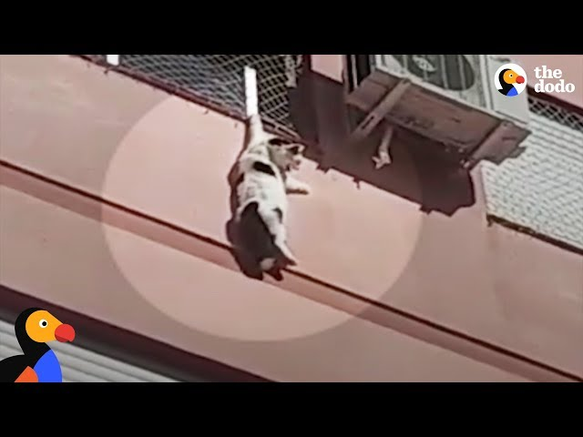 Cat Dangling From Building Rescued By Hero | The Dodo