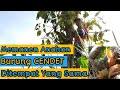 Panen Anakan Cendet Atau Pentet Lagi Di Pohon Yang Sama Dan Indukan Yang Sama  Mp3 - Mp4 Download