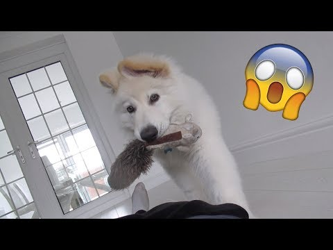 german-shepherd-reaction-to-owner-fainting!