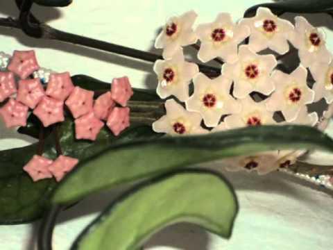 flores hoya carnosa madre